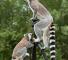 lemur_on_tripod
